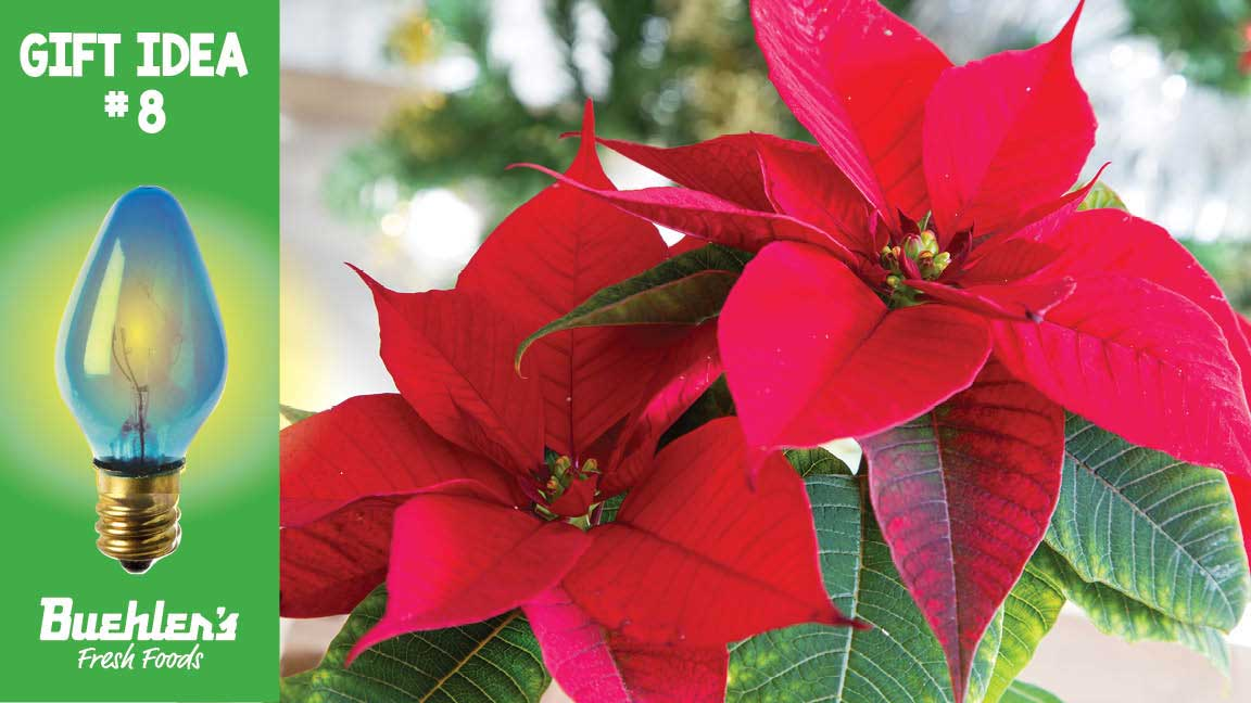 A Christmas favorite - poinsettias